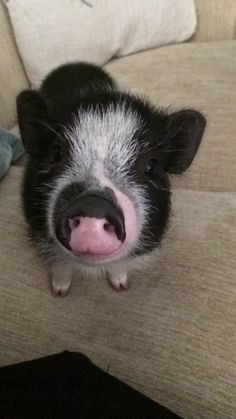 """Babysitting a micro pig and I think I just depleted all my """"aww's"""" for the day"""
