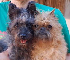 Cindy & Chevy adoptable Seniors near Las Vegas NV, Adorable sweethearts, Cairn Terrier mix & Brussels Griffon, spayed girl & neutered boy, both 12 years of age.  Cindy & Chevy are bonded for life.  Together forever. Cindy, is a cheerful girl. Chevy,  is a pensive and bashful boy Please help find a hero for Cindy & Chevy http://www.nevadaspca.org/adoptable-animals/adoptable-dogs/animal/856