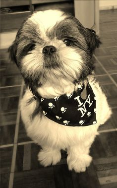 Meu amor! | cute Shih Tzu via Flickr - Photo Sharing!