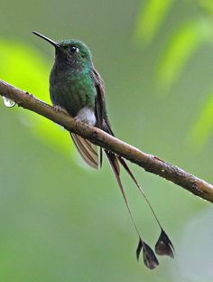 Booted Racket-tail Hummingbirds by jerryoldenettel, via Flickr