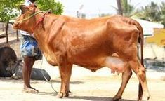 206 Best India #3 Cattle Breeds images in 2019 | Cattle, Cow