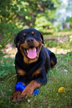 "Sure do miss that ""Rottie Smile"" !!"