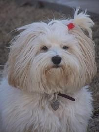 99 Best Havanese Haircut Images Puppys Cute Dogs Doggies