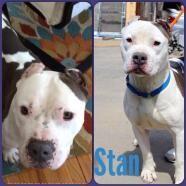 Stan - Pit Bull Terrier