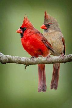 Cardenales el macho todo rojo la hembra café con penacho rojo hermosa pareja