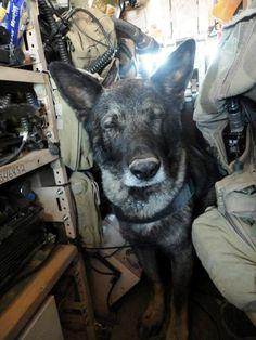 German Shepherd Military War K9 Cutie & Hero!