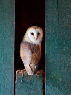 Barn owl  in the barn.