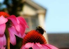 The cone flower & the bee