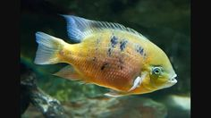 A profile of Chiseltooth cichlid (Cichlasoma bocourti) Images may be subject to