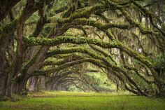 Picture of Oaks Avenue Charleston SC plantation Live Oak trees forest landscape in ACE Basin South Carolina lowcountry stock photo, images and stock photography. South Carolina, Carolina Do Sul, Forest Fairy, Tree Forest, Beautiful World, Beautiful Places, Beautiful Live, Tree Tunnel, Socotra
