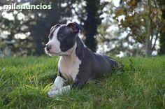 Se venden cachorros de American Staffordshire Terrier. Nacidos el 26/09/2014 listos para su entrega, desparasitados, vacunados y con pedigree. Disponible whatsapp