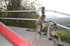 Monkey's pair taking rest....... #advertbaba  #photography
