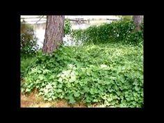 Sweet Potato leaves as a food source