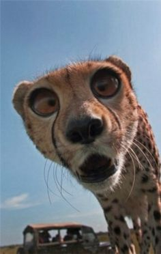 Funny pictures about Cheetah Derping Into The Camera. Oh, and cool pics about Cheetah Derping Into The Camera. Also, Cheetah Derping Into The Camera. Funny Animal Memes, Cute Funny Animals, Funny Animal Pictures, Cute Baby Animals, Funny Cute, Animals And Pets, Cute Cats, Big Cats, Funny Photos