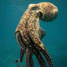 Giant Octopus in Tahiti Underwater Creatures, Ocean Creatures, Weird Sea Creatures, Wild Creatures, Beautiful Sea Creatures, Animals Beautiful, Animals And Pets, Cute Animals, Octopus Art