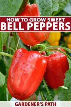 How to Grow and Harvest Bell Peppers Do you love green, yellow, and red sweet bell peppers? Try growing your own right at home. Crunchy, sweet, and they can … Growing Green Peppers, Growing Veggies, Bell Pepper Plant, Pepper Plants, Sweet Bell Peppers, Stuffed Sweet Peppers, Red Peppers, Gardening For Beginners, Gardening Tips