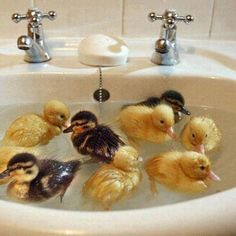 Ducks are funny and cute, specially baby ducks. Check out these cute ducklings in this funny ducks compilation. I Are Cute Duckling AWW - Funny Baby Duck Ani. Baby Animals Pictures, Cute Baby Animals, Animals And Pets, Funny Animals, Animal Pics, Jungle Animals, Animals Images, Wild Animals, So Cute Baby