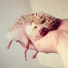 Darcy the tiny hedgehog | Shota Tsukamoto