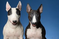 Spuds and Lola - Miniature Bull Terrier