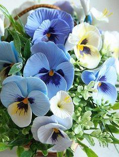 Pansy, or Viola tricolor