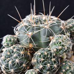 Гимнокалициум Bruchii - Планета Пустыня