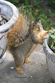 """Is there anything here that's interesting and that a squirrel would like? Squirrel Pictures, Funny Animal Pictures, Cute Pictures, Animals And Pets, Baby Animals, Funny Animals, Cute Animals, Cute Squirrel, Baby Squirrel"