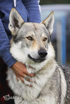 Looks like my Sephira! Love This Beautiful breed!   Czechoslovakian Wolfdog  :)