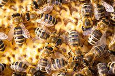 nid d abeille: Macro coup d'essaim d'abeilles sur un nid d'abeilles