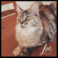 Maine Coon cat - Luna ♡