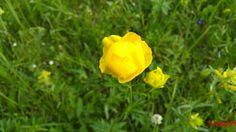Trollius europaeus -fam. Ranunculaceae, denumire populară:  bulbuci de munte Flora, Plants