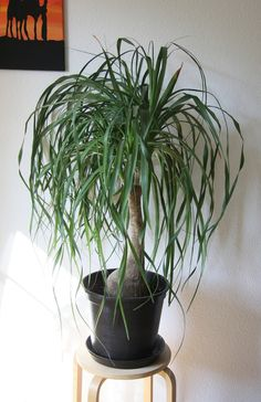Best House Plants...Ponytail Palm