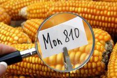 Μεταλλαγμένα: η Ελλάδα μπλόκαρε καλαμπόκι της Monsanto