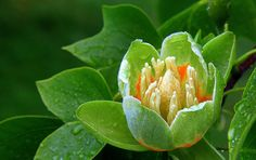 Tulip Tree flower