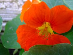 A flor da capuchinha ®SKLindemann