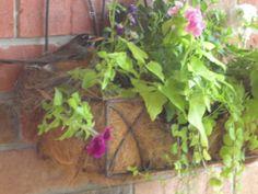A robin in my flower box!