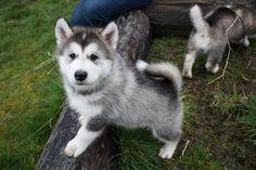 husky puppy I want one!!