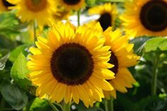 How To Grow Sunflowers From Seed.