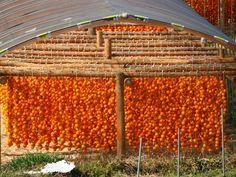 Persimmons hanging- autumn Japan