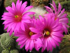 Mammillaria guelzowiana  See its profile and more photos here ◢ http://www.worldofsucculents.com/mammillaria-guelzowiana/