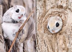 If a prize were being handed out for the world's cutest creature, the Siberian flying squirrel could easily win. These large-eyed tree-dwellers could come from a Disney film with their large eyes and, seemingly, expressive features. Photographer Masatsugu Ohashi captured these images of the tiny animals on the Japanese island of Hokkaido.