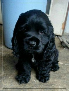 Black cocker spaniel-looks like our Nicky.His mothers name was Penny she was a blonde cocker spaniel. Cute Puppies, Cute Dogs, Dogs And Puppies, Doggies, Baby Animals, Funny Animals, Cute Animals, Black Cocker Spaniel Puppies, Animal Gato