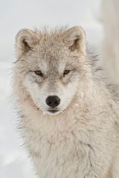 ~~Arctic Wolf Pup by WolvesOnly~~