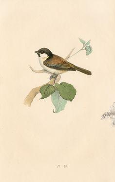 Meyer Bird Prints 1857