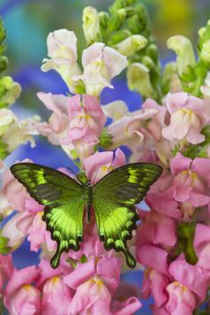 Green Tropical Swallowtail, Papilio neumogeni,  Butterfly photography by:  Darrell Gulin