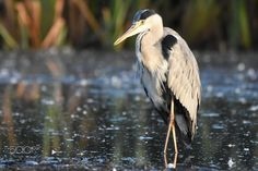 A heron bird awaiting lunch to arrive by Thord Johansson on 500px