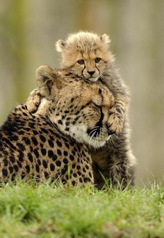 Baby cheeta with mom.