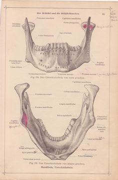 Vintage Medical Page, Anatomical Diagram, Medical Page for Framing, Teeth, Jaw Bone, Mouth Skeleton, German Anatomy, Medical Illustration,