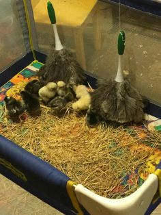 Best thing since sliced bread.... Saw this and thought I would give it a try on my 2 day old chicks. Not 10 minutes after they were hung, they all began snuggling under them.