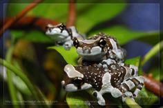 Three Little Pandas  by ~theperfectlestat  ©2008-2012 ~  They are young Amazon Milk Frogs (Trachycephalus resinifictrix).