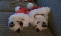 My ragdoll kittens in santa hats